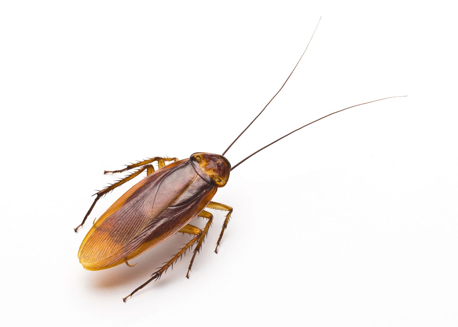 Cockroaches | Healthy Homes Coalition